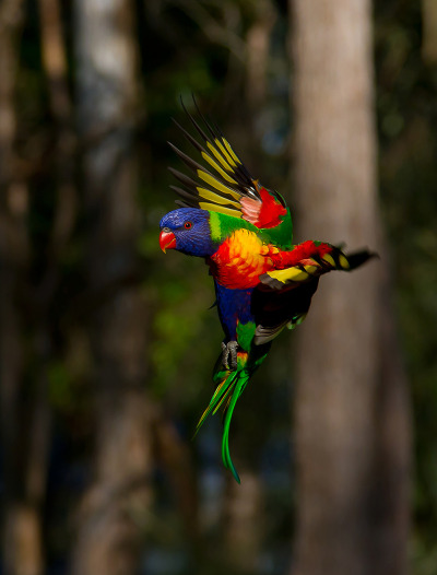 cavalierzee:  Rainbow Lorikeet Rainbow Lorikeets are extremely fast in flight. You can hear wind resistance coming from their wings in a similar manner to hummingbirds.They flock along the east coast of Australia in large numbers in search of fruit and nectar.By Trevor Andersen