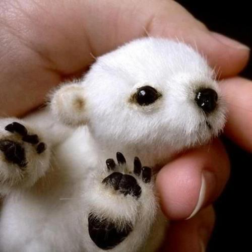 mashapotato:  magicalnaturetour:  A pocket polar bear by BMXrider3996 via Cute Overload :)  what is this where did this come from how can it be  I don't even care that it's not real