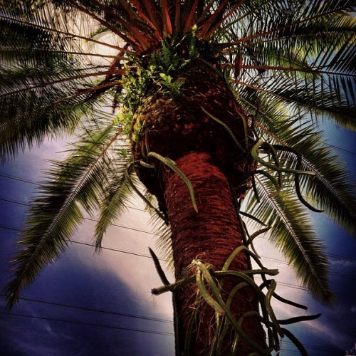 #palmtree #tree #cactus #sky #clouds #nature #iphone #iphonesia #iphoneonly #ikonic  (Taken with Instagram at Mellow Mushroom)
