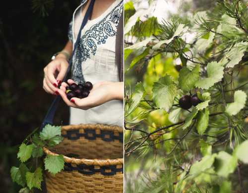 beeslikehoney:  muscadine picking by hannah * honey & jam http://flic.kr/p/d5iHi5