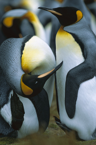 an-imalss:  King Penguin (Aptenodytes patagonicus) pair with one penguin scratching its head, Falkland Islands by Hiroya Minakuchi
