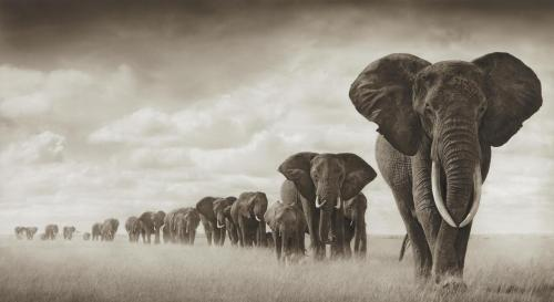 Elephants Moving through Grass, Amboseli (archival pigment ink print, 2008) – Nick Brandt Auction Estimate: $10,000–15,000