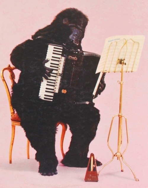 fatman:  jugtownradio: Gorilla Playing The Accordion