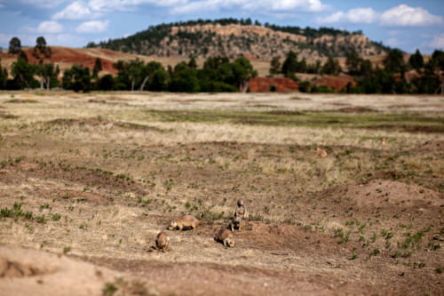 johnnysimon:  Prairie Dogs, South Dakota  August 2012 This is a photo I took last month in South Dakota.  Half of the trip was to meet a wing of my family I had never met, the other half was simply to see this beautiful part of the country.  This was from the second half. © Johnny Simon 2012
