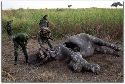 Poaching The New York Times has begun a series on how elephant poaching is financing war in the Congo. The first article begins like so:  GARAMBA NATIONAL PARK, Democratic Republic of Congo — In 30 years of fighting poachers, Paul Onyango had never seen anything like this. Twenty-two dead elephants, including several very young ones, clumped together on the open savanna, many killed by a single bullet to the top of the head. There were no tracks leading away, no sign that the poachers had stalked their prey from the ground. The tusks had been hacked away, but none of the meat — and subsistence poachers almost always carve themselves a little meat for the long walk home. Several days later, in early April, the Garamba National Park guards spotted a Ugandan military helicopter flying very low over the park, on an unauthorized flight, but they said it abruptly turned around after being detected. Park officials, scientists and the Congolese authorities now believe that the Ugandan military — one of the Pentagon's closest partners in Africa — killed the 22 elephants from a helicopter and spirited away more than a million dollars' worth of ivory.  New York Times. Elephants Dying in Epic Frenzy as Ivory Fuels Wars and Profits. Image: A poached elephant in Garamba National Park. Tyler Hicks via the New York Times.