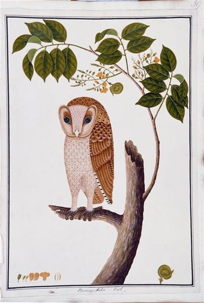 "heaveninawildflower:  Boorong Antoo; Owl ( between 1819 and 1823) by unknown (anonymous Chinese artist). A watercolour drawing of the oriental bay owl (Phodilus badius; known in Malay as the burung hantu (""ghost bird"")), perched on an angsana tree (Pterocarpus indicus). The illustration of the owl is highly idealized, as each feather is shown in place and separated from the others. In addition, the artist has added a ""hood"" over the owl's face that is absent in nature. The drawing is one of 477 natural history drawings of plants and animals of Malacca and Singapore commissioned by William Farquhar. National Museum of Singapore. Wikimedia."