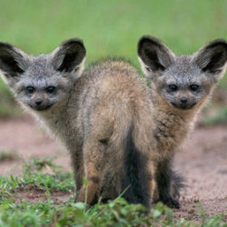 Bat Eared Fox Pups !Masai Mara, Kenya! by Sean Crane