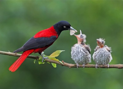 animals-animals-animals:  Maroon Oriole and Chicks (by D. H.)
