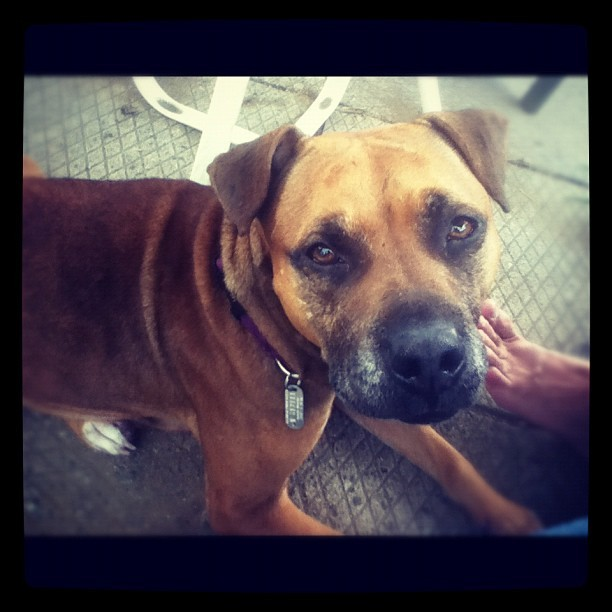 Awww Lucy Girl!! #pitbulls #rescue #boxer #love #dog  (Taken with Instagram)