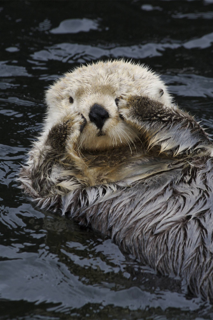 localisedinsanity:  Here I am.. (by alumroot)  it's an otter doing aegyo; ahhh why are you so otter-ly adorable? teehee..