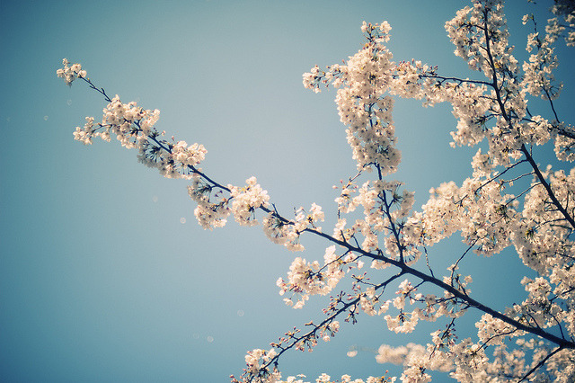 sakura #019 by konafoto on Flickr.