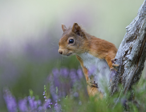 dearscience:  Red Squirrel by David C Walker