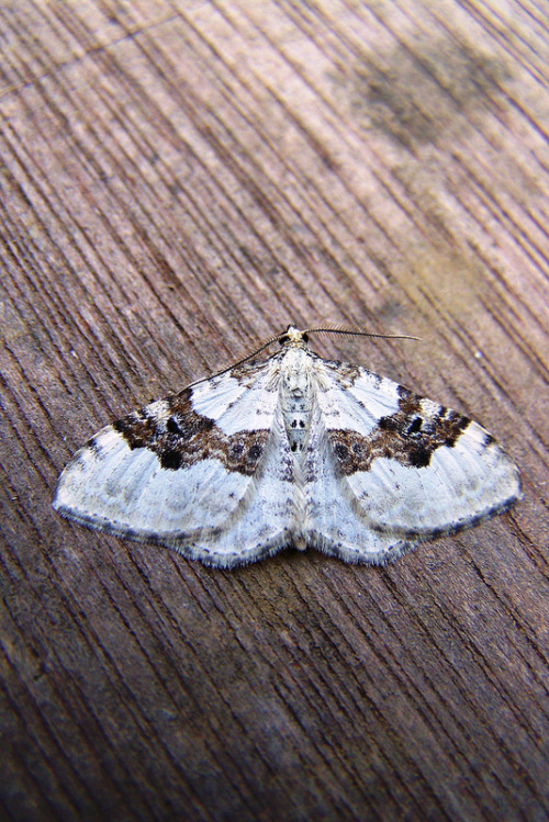 fuckyeahmoths:  Xanthorhoe montanata (Silver-ground Carpet)