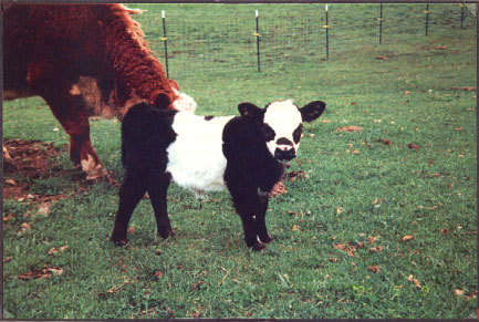 oh look at this miniature panda cow.  YES A PANDA COW.