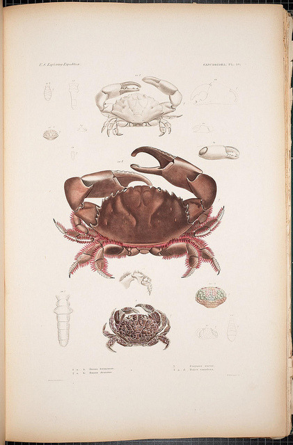 scientificillustration:  Cancroidea by BioDivLibrary on Flickr. Crustacea..Philadelphia,Printed by C. Sherman,1852-55 [i. e. 1861].biodiversitylibrary.org/page/40413898