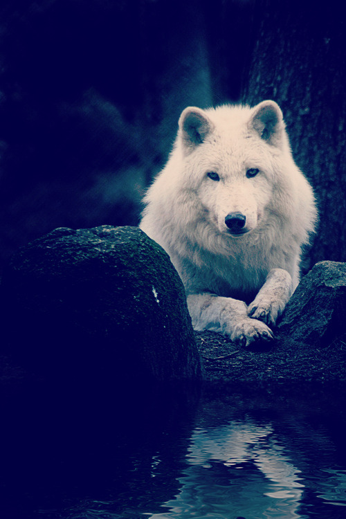 The gaze of the wolf reaches into our soul. ~Barry Lopez~
