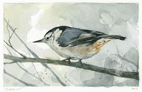 White-breasted NuthatchWatercolor