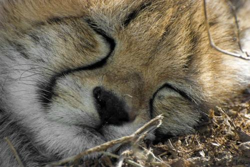 funnywildlife:  Cheetah Cub Cat Nap !!