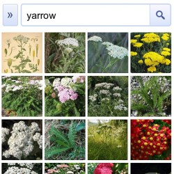 Many Styles #googleimage #yarrow  (Taken with Instagram)