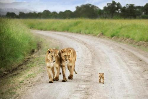 That little guy is so cute! funnywildlife:  Lion sisters and tiny cub strolling.!!  by David Lazar