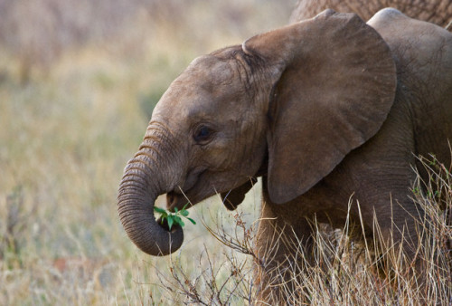 effyeahelephants:  by Keren Su