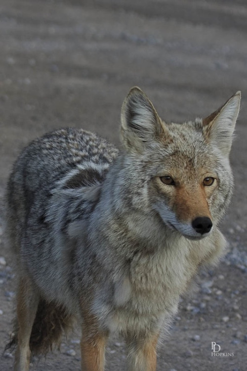 Coyote :)  (via All sizes | Wiley Coyote | Flickr - Photo Sharing!)