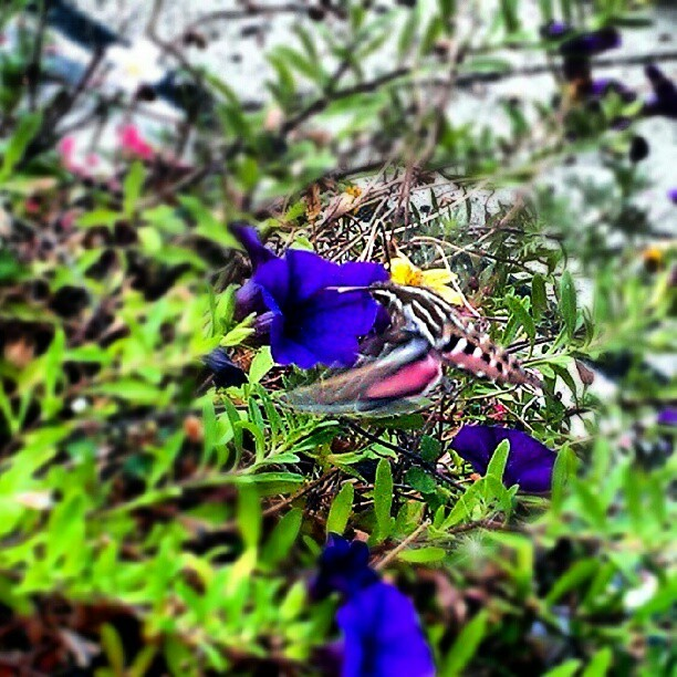 Rh #hummingbirdmoth #nature #Beauty  (Taken with Instagram)