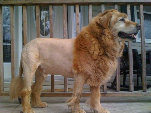 Lion or dog, I don't know!