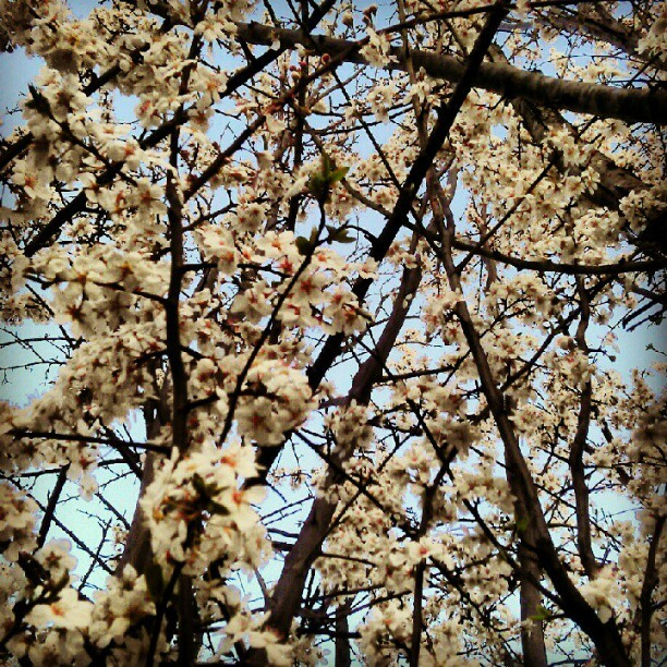 This tree is all over this Spring shit. (Taken with Instagram)