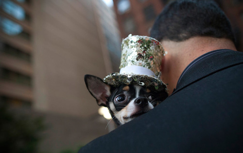 Photograph: Andrew Kelly/Reuters Bogie the chihuahua at the Furry Friends on the Runway fashion event at the Ritz Plaza Park in New York, where pets take a turn on the 'dogwalk'
