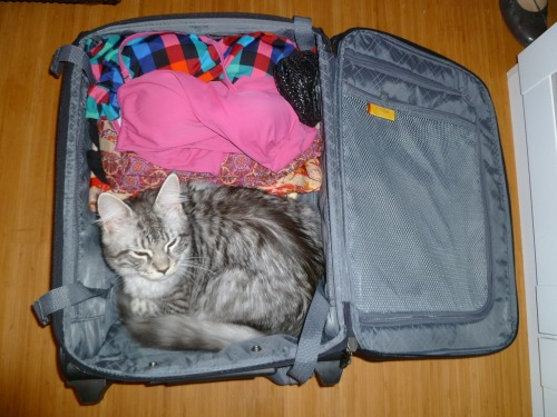 get out of there cat. i know Italy is nice and sunny, but you do not want -50 degrees in the luggage space of the plane.