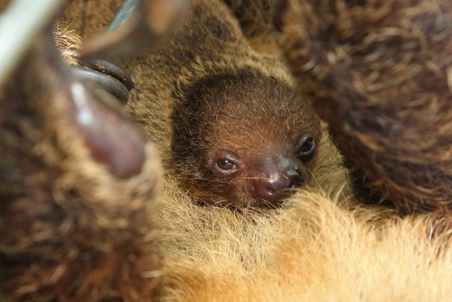 New baby sloth! More pictures here.
