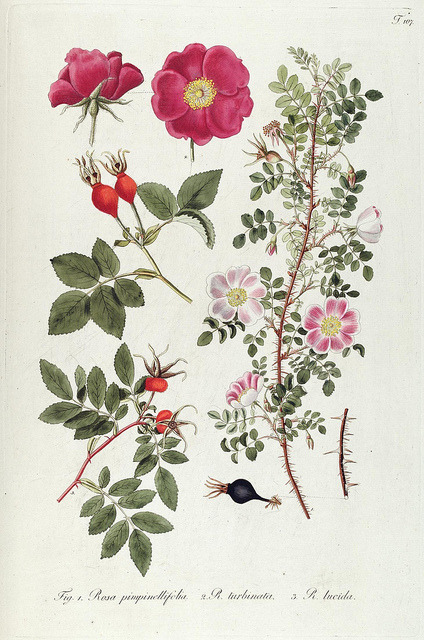 jomobimo:  Plate 107, Fragmenta botanica, figuris coloratis illustrata. Vienna, 1809.