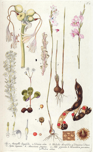 Plate 2, Fragmenta botanica, figuris coloratis illustrata. Vienna, 1809.