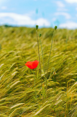 Red poppy in a wheat field II by Tambako the Jaguar on Flickr.