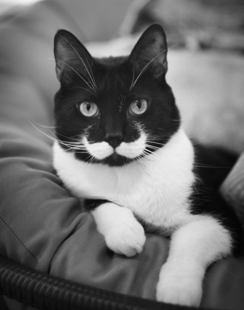 carlovely:  is there anything more sophisticated than mustache kitty? the answer is no.