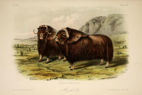 Muskox by BioDivLibrary on Flickr. The quadrupeds of North America,.New York,V.G. Audubon,1851-54..biodiversitylibrary.org/page/34897011