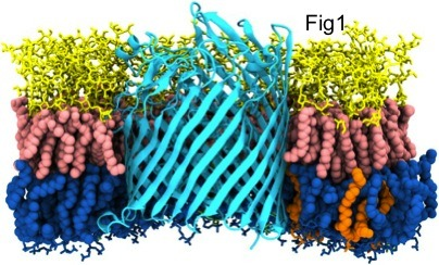 FecA protein from the outer membrane of E.coli, embedded in an asymmetric model of the outer membrane environment. Soon to be published in Piggot, Holdbrook and Khalid, BBA Biomembranes, 2012.
