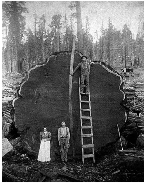 collective-history:  The cross-section of a felled Giant Sequoia in turn of the century California.