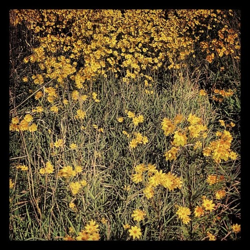 One million wild flowers dancing in the sky. #instamood #instagramhub #iphoneonly #iphone4s #iphonesa #picoftheday #photooftheday #igersdetroit #flower #natural #mothernature #spring #alive #life #trees #wildlife #fixtheearth #love #detroit #wildflowers (Taken with Instagram)