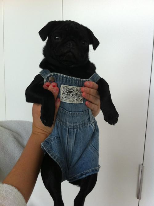 this is a pug in overalls. you can't not reblog. omg.