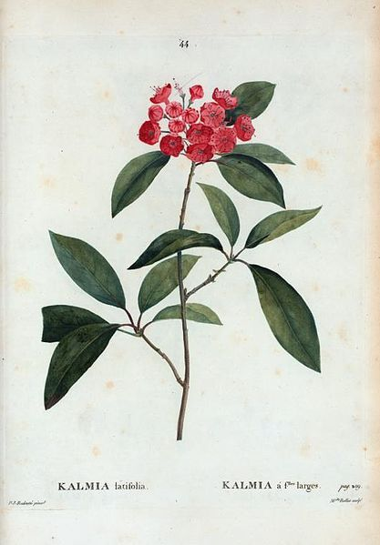 heaveninawildflower:  Mountain Laurel or Spoonwood (Kalmia latifolia) by Pierre-Joseph Redouté (1759-1840) taken from 'Traité des arbres et arbustes que l'on cultive en France en pleine terre' par Duhamel (1801-1819). http://digitalgallery.nypl.org/nypldigital/id?1108729 Wikimedia