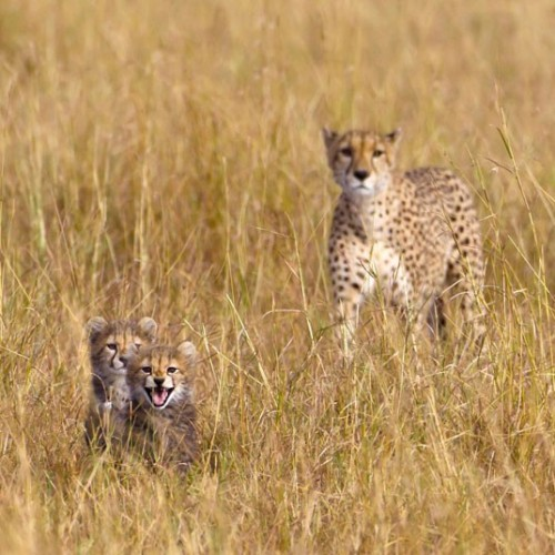 theanimalblog:  Female cheetah and cubs.  Picture: Paul Goldstein / Rex Features