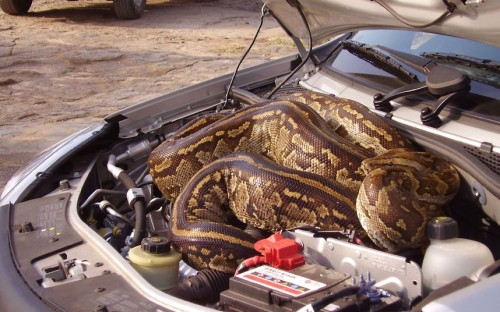 theanimalblog:  A couple discovered a huge python hitching a ride in their car. The slithery squatter sneaked underneath the bonnet of Marlene Swart and Leon Swanepoel's car while they were on holiday at the Kruger National Park in South Africa. They were on the look-out for lions when the five-metre python shot out of the grass and disappeared under their car. When the snake failed to reappear Marlene and Leon were forced to endure a three-mile journey knowing the python was somewhere inside their vehicle before arriving at the nearest lookout point.Picture: CATERS NEWS