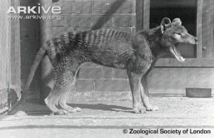 "Happy 76th Thylacine day from the Grant Museum By Jack Ashby  Another year has passed since the last known thylacine – one of the greatest icons of extinction – died of exposure. That makes 76 years today.  We have celebrated the thylacine here at the Grant Museum for some time. We have some fantastic specimens – including one of the only fluid preserved adults (with the added bonus of having been dissected by Victorian evolutionary giant Thomas Henry Huxley), and skeleton from the early 1900s, which belonged to Grant himself. The only recent thylacine-based activity that happened at the Museum was for all our thylacine-geek colleagues to watch The Hunter together, a film about a bounty-hunter hired to collect the last individual for an evil bio-tech company. It was brilliant. Here on this blog we have told tales of thylacine apparitions, potentially new specimens, the lessons of extinction and the thylacine's own story, which ended so tragically on 7th September 1936. On 2012′s thylacine day I'm going to spread the net a little further. Putting the exact date on the demise of a species is necessarily impossible – given the number of sightings since 1936, and a few other hints, it is extremely unlikely that the last Tassie tiger did die that day. Likewise for the ""last"" quagga which died 129 years ago last month. Nevertheless such dates give us an opportunity to celebrate them – in fact that's why Australia's National Threatened Species Day is today. Given that locating the last members of a dwindling species obviously gets harder as numbers approach flat-line, declaring a species extinct could be argued to be meaningless. More often you hear conservationists hedge their bets with the phrase ""functionally extinct"" meaning that there are so few that the species has no hope of long-term survival. This year, however, the International Conservation Union (IUCN) – the body responsible for categorising how threatened species are – moved two animal species into the Extinct category: two molluscs (the ovate clubshell (Pleurobema perovatum) and Fish Springs marshsnail (Stagnicola pilsbryi). This year's other official casualties include two sub-species. The Pinta Island tortoise ceased to be when Lonesome George died on 24th June, and Japan's Ministry of the Environment declared the Japanese river otter to have joined the list last week. It goes without saying that these are not the only species to have gone forever this year – these are the ones to have been given an official send off. So when you raise your glass in memory of the thylacine this evening, as thylocinophiles will be doing the world over, have a few more sips for George, the snails and everything else no-one will ever see again."