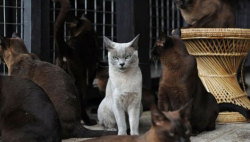 mothernaturenetwork:  Burmese cats pounce back in MyanmarOnce the favored pet of royalty and temple guardians, the Burmese cat had vanished from its ancestral homeland until enthusiasts returned them.