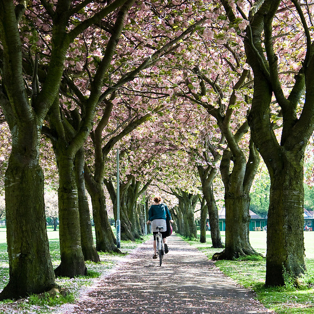 Cycling through the blossom by m.o.n.o.c.h.r.o.m.e. on Flickr.