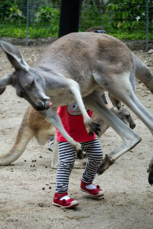 collegehumor:  Kangaroo Photobomb Warning: Kangaroos do not experience gravity.  oh my god why is this so funny