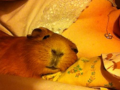 guineapiggies:  Goodbye to my piggie Gwendolyn, who passed in my arms yesterday :C Submitted by gpath