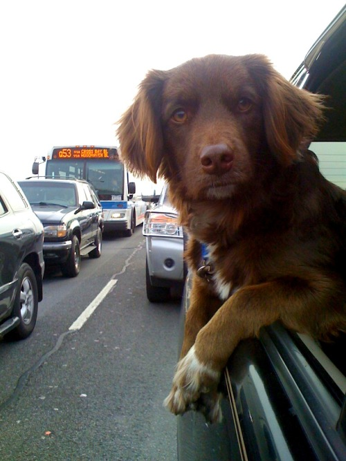 handsomedogs:  Vino is a city dog!